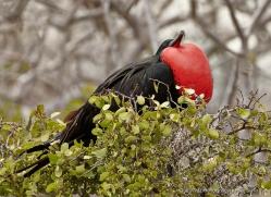 frigate-bird-1801-galapagos-copyright-photographers-on-safari-com
