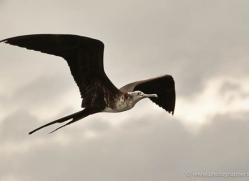 frigate-bird-1803-galapagos-copyright-photographers-on-safari-com
