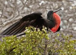frigate-bird-1805-galapagos-copyright-photographers-on-safari-com