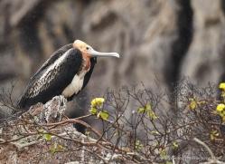 frigate-bird-1809-galapagos-copyright-photographers-on-safari-com