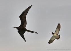 frigate-bird-1813-galapagos-copyright-photographers-on-safari-com