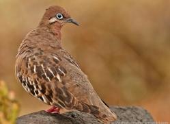 galapagos-dove-1893-galapagos-copyright-photographers-on-safari-com