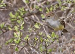 galapagos-flycatcher-1900-galapagos-copyright-photographers-on-safari-com