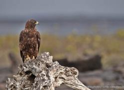galapagos-hawk-1853-galapagos-copyright-photographers-on-safari-com