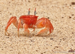 ghost-crab-1798-galapagos-copyright-photographers-on-safari-com
