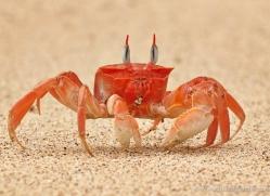 ghost-crab-1800-galapagos-copyright-photographers-on-safari-com