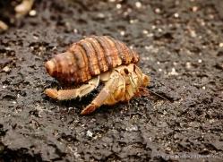 hermit-crab-1875-galapagos-copyright-photographers-on-safari-com