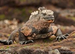 iguana-1723-galapagos-copyright-photographers-on-safari-com