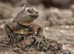iguana-1728-galapagos-copyright-photographers-on-safari-com