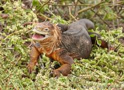 iguana-1729-galapagos-copyright-photographers-on-safari-com