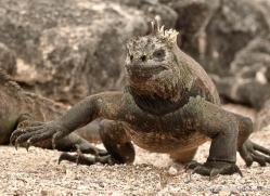iguana-1730-galapagos-copyright-photographers-on-safari-com