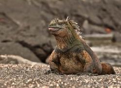 iguana-1732-galapagos-copyright-photographers-on-safari-com