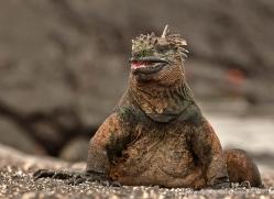 iguana-1733-galapagos-copyright-photographers-on-safari-com
