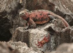 iguana-1738-galapagos-copyright-photographers-on-safari-com