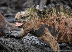 iguana-1742-galapagos-copyright-photographers-on-safari-com
