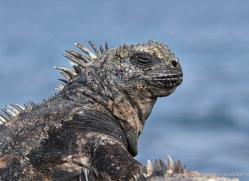iguana-1746-galapagos-copyright-photographers-on-safari-com