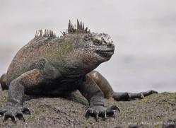 iguana-1748-galapagos-copyright-photographers-on-safari-com