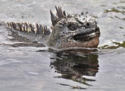 iguana-1749-galapagos-copyright-photographers-on-safari-com