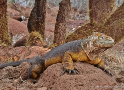 iguana-1752-galapagos-copyright-photographers-on-safari-com