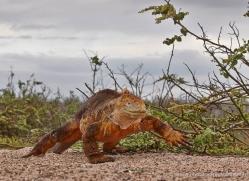iguana-1753-galapagos-copyright-photographers-on-safari-com