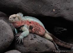 iguana-1755-galapagos-copyright-photographers-on-safari-com