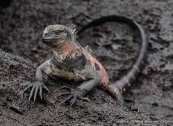 iguana-1756-galapagos-copyright-photographers-on-safari-com