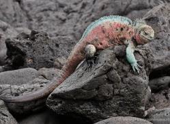 iguana-1757-galapagos-copyright-photographers-on-safari-com