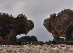 iguana-1762-galapagos-copyright-photographers-on-safari-com