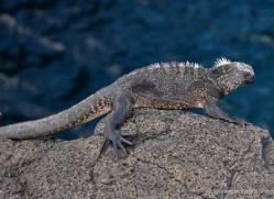 iguana-1767-galapagos-copyright-photographers-on-safari-com