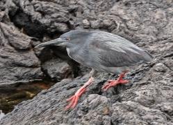 lava-heron-1882-galapagos-copyright-photographers-on-safari-com