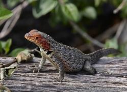 lizard-1862-galapagos-copyright-photographers-on-safari-com