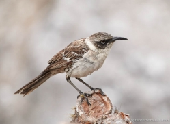 mockingbird-1876-galapagos-copyright-photographers-on-safari-com