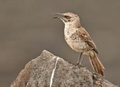 mockingbird-1877-galapagos-copyright-photographers-on-safari-com