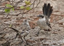 mockingbird-1878-galapagos-copyright-photographers-on-safari-com