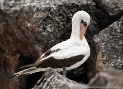nazca-booby-1847-galapagos-copyright-photographers-on-safari-com