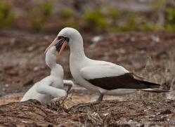nazca-booby-1848-galapagos-copyright-photographers-on-safari-com