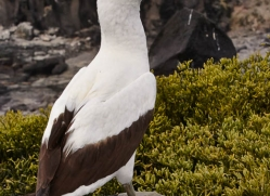 nazca-booby-1849-galapagos-copyright-photographers-on-safari-com
