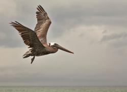 pelican-1831-galapagos-copyright-photographers-on-safari-com