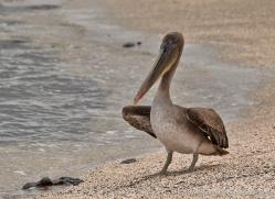 pelican-1832-galapagos-copyright-photographers-on-safari-com