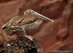 pelican-1833-galapagos-copyright-photographers-on-safari-com