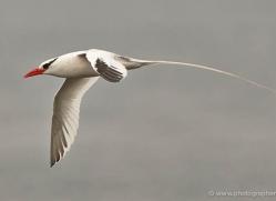 red-billed-tropicbird-1864-galapagos-copyright-photographers-on-safari-com