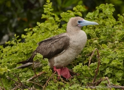 red-footed-booby-1844-galapagos-copyright-photographers-on-safari-com