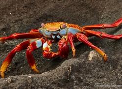sally-lightfoot-crab-1795-galapagos-copyright-photographers-on-safari-com