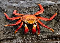 sally-lightfoot-crab-1797-galapagos-copyright-photographers-on-safari-com