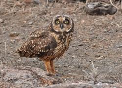 short-eared-owl-1861-galapagos-copyright-photographers-on-safari-com