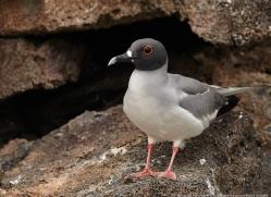 swallow-tailed-gull-1866-galapagos-copyright-photographers-on-safari-com