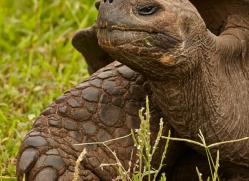 tortoise-1768-galapagos-copyright-photographers-on-safari-com