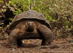 tortoise-1773-galapagos-copyright-photographers-on-safari-com