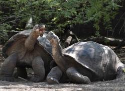 tortoise-1777-galapagos-copyright-photographers-on-safari-com