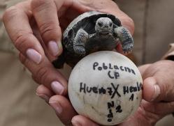 tortoise-1779-galapagos-copyright-photographers-on-safari-com